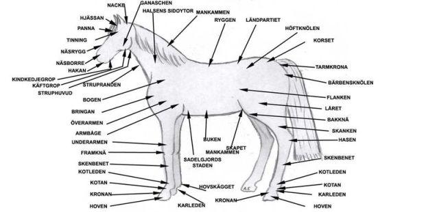 hastens_anatomi_194373971